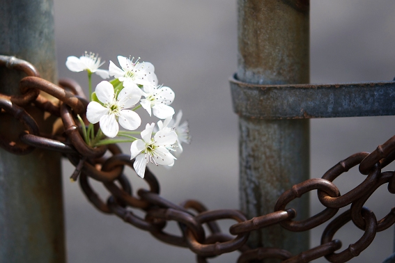"""Blossom and Chain"" by Rachel Pasch Grossman"