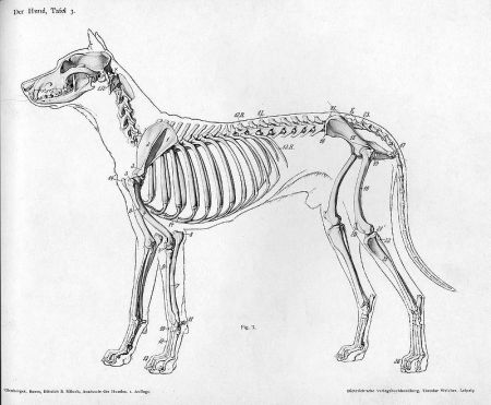 """Dog Anatomy Lateral Skeleton"" via Wikipedia"