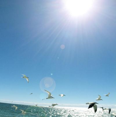 sunshine gulls MGD©